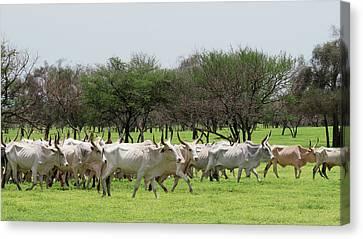 Senegal Canvas Print - Cattle Farming by Thierry Berrod, Mona Lisa Production