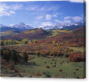 Cattle Grazing San Juan National Forest Canvas Print by Panoramic Images