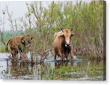 Cattle In The Flooded Danube Delta Canvas Print by Martin Zwick
