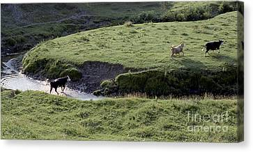 Cattle Running Canvas Print by Andre Paquin