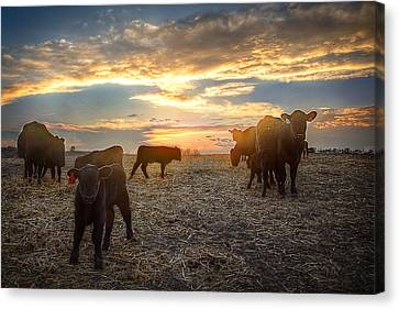 Angus Steer Canvas Print - Cattle Sunset 2 by Thomas Zimmerman