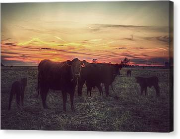Angus Canvas Print - Cattle Sunset by Thomas Zimmerman