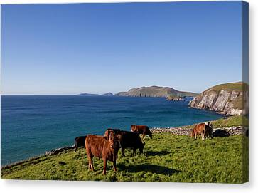 Cattle With Distant Blasket Islands Canvas Print by Panoramic Images