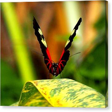 Canvas Print featuring the photograph Cattleheart Butterfly  by Amy McDaniel