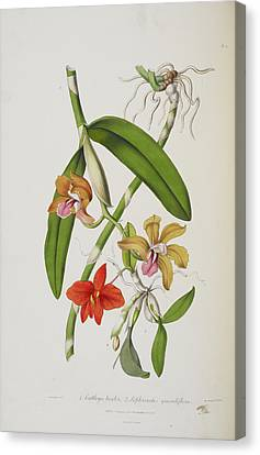 Cattleya Bicolor Canvas Print by British Library