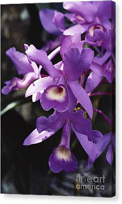 Cattleya Of Costa Rica Canvas Print by Gregory G. Dimijian, M.D.