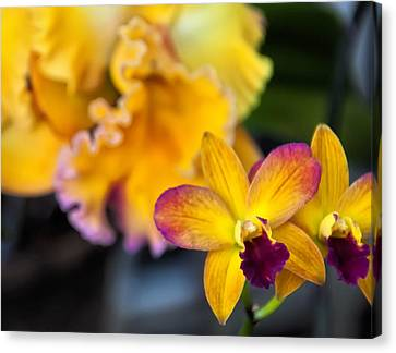 Cattleya Orchid Canvas Print by Chris Flees