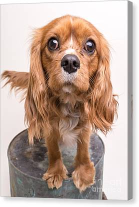 Cavalier King Charles Spaniel Puppy Canvas Print by Edward Fielding