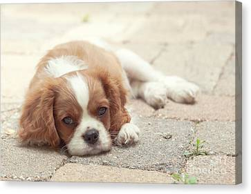 Cavalier Puppy Canvas Print by Kay Pickens