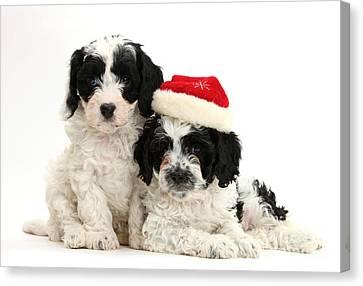 Cavapoo Puppies Wearing Christmas Hats Canvas Print