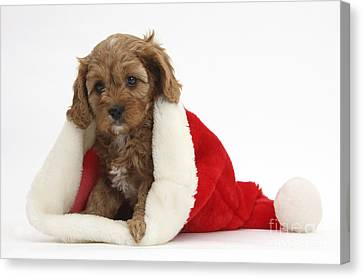 Cavapoo Puppy In Christmas Hat Canvas Print