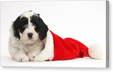 Cavapoo Puppy Wearing Christmas Hat Canvas Print