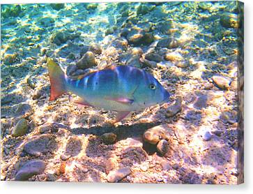 Cayman Snapper Canvas Print by Carey Chen