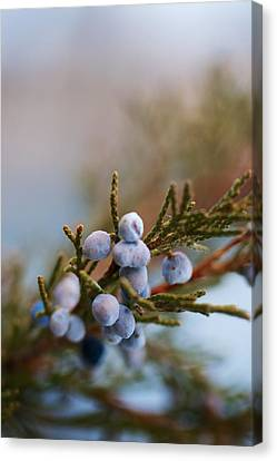 Cedar Berries Canvas Print by Kevin Bone