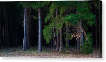 Cedar Canvas Print by Tim Nichols