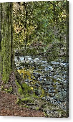 Tree Roots Canvas Print - Cedar Tree By Kanaka Creek by Sharon Talson