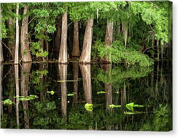 Cedar Trees In Suwannee River, Florida Canvas Print by Sheila Haddad