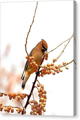 Cedar Wax Wing Canvas Print by Floyd Tillery