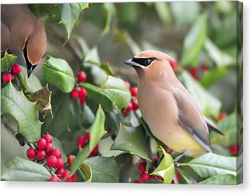 Cedar Waxwing In Holly Tree Canvas Print by Terry DeLuco