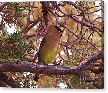 Cedar Wax Wing In Juniper Canvas Print by Michele Penner