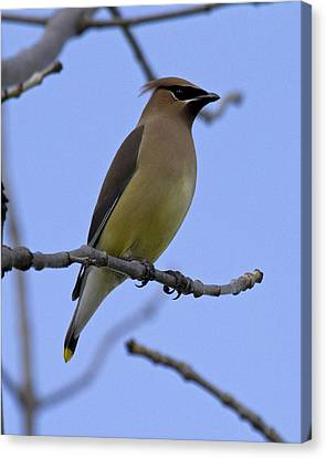 Cedar Waxwing 2 Canvas Print by Eric Mace