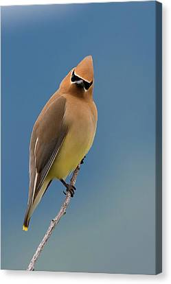 Cedar Waxwing, A Curious Stare Canvas Print by Ken Archer