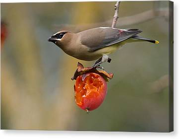 Cedar Waxwing Canvas Print by Doug Herr