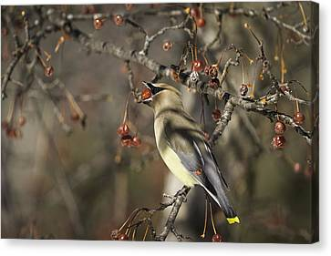 Cedar Waxwing Eating Berries 6 Canvas Print by Thomas Young