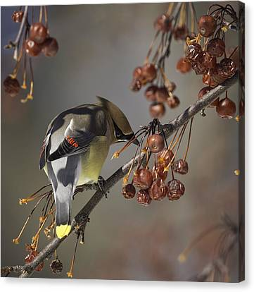 Cedar Waxwing Eating Berries 7 Canvas Print by Thomas Young