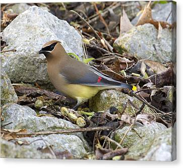 Cedar Waxwing Canvas Print by Eric Mace