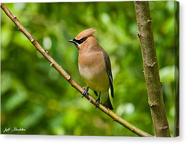 Cedar Waxwing Gathering Nesting Material Canvas Print