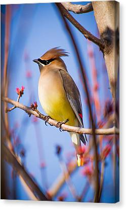 Cedar Waxwing In Winter Canvas Print by Nathaniel Kidd