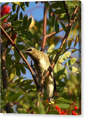 Canvas Print featuring the photograph Cedar Waxwing by James Peterson