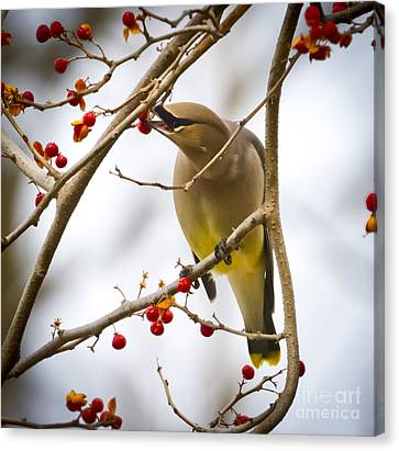 Canvas Print featuring the photograph Cedar Waxwing by Ricky L Jones