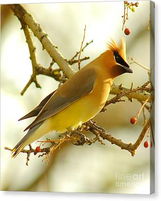 Cedar Waxwing Canvas Print by Robert Frederick