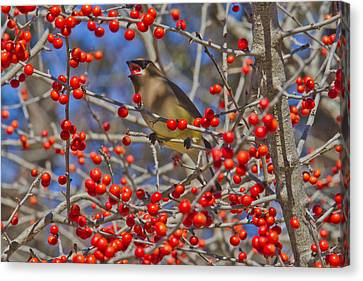 Cedar Waxwing In The Act Of Swallowing A Possumhaw Fruit Canvas Print
