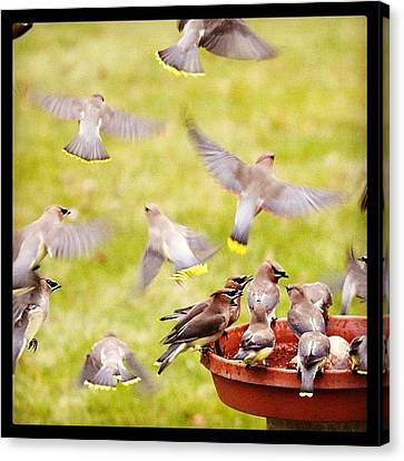 Cedar Waxwings  Canvas Print by Heidi Hermes
