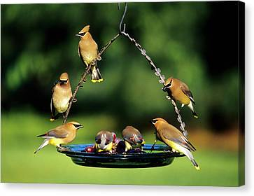 Cedar Waxwings (bombycilla Cedrorum Canvas Print by Richard and Susan Day