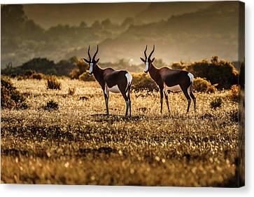 Pairs Canvas Print - Cederberg Mountains - Bontebok Couple by Michael Jurek