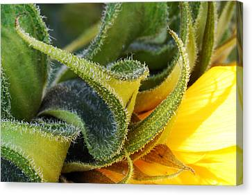 Canvas Print featuring the photograph Celebration Sunflower by Wendy Wilton