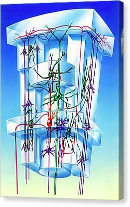 Cell Types In Brain Cortex Canvas Print by John Bavosi
