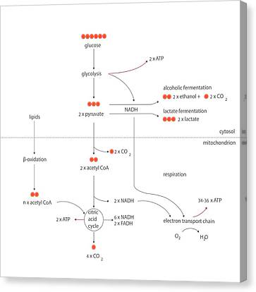 Fermentation Canvas Print - Cellular Respiration Metabolic Cycles by Science Photo Library