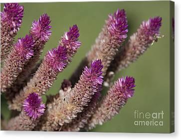 Celosia - Amaranthaceae Canvas Print by Sharon Mau