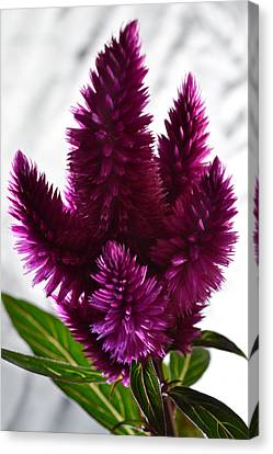 Celosia Canvas Print by Terence Davis
