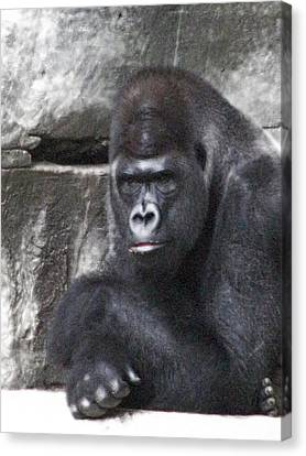 Centerfold Gorilla - 01 Canvas Print by Pamela Critchlow
