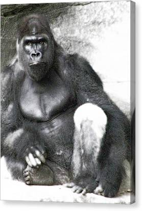 Centerfold Gorilla - 03 Canvas Print by Pamela Critchlow