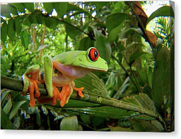 Central America Red-eyed Treefrog Canvas Print by Andres Morya Hinojosa