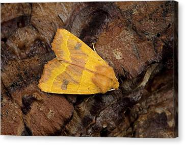 Centre-barred Sallow Moth Canvas Print