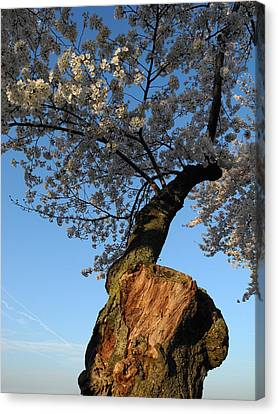 Canvas Print featuring the photograph Century Old Sakura by Yue Wang