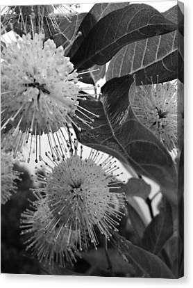 Cephalanthus Occidentalis In Black And White Canvas Print by K Simmons Luna